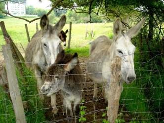 3 burros detrás de un cercado. Casa rural Enkartada. Sopuerta. El burro encartado en extinción.